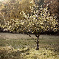 Nature Photograph, Apple Tree, Green, Orchard, Vintage Style , Tree print, Tuscan Style, landscape photograph, french country