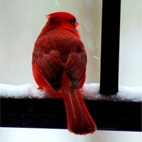 "25% OFF SALE Cardinal Photography - 5x5 inch Fine Art Photography Print of red male cardinal, winter photograph ""Cardinal in the Snow"""