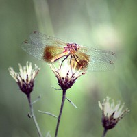 Fine Art Photograph 8x10 Dragonfly by LoveNandA on Etsy