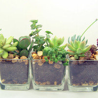 Terarraium Succulent planter DIY kit Desk Accessories  or Wedding Centerpieces