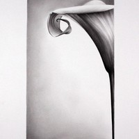 Still Life Flower Calla Lily Pencil Drawing Fine Art Print Signed by Artist