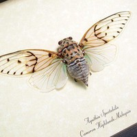 Real Ghost Cicada Conservation Quality by REALBUTTERFLYGIFTS