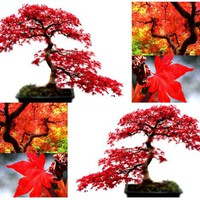 10 RED MAPLE Tree Seeds A. rubrum EXCELLENT for JAPANESE BONSAI ~SUN - PART SHADE