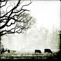 cows and branches - black and white fog photography, wildlife, fine art, rural photo, mist, texas