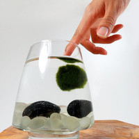 Marimo Pet in the Frosted Lake
