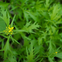 Organic Mizuna Seeds Japanese Mustard Greens by cubits on Etsy