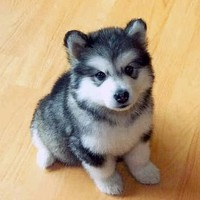 A husky that stays small forever: a pomsky! I want one!