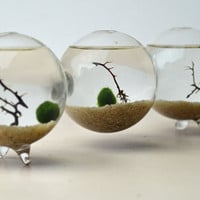 Marimo - Japanese Moss Ball - Triple Aquarium - with sea fan - and sand