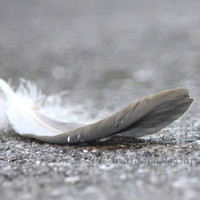 "Large Monochrome Grey Photograph, Feather, Nature, Bird,  Home Decor, Grey Wall Art, 11x14 inch Photograph - ""Down"""