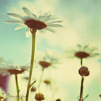 daisy, flowers, blue, fine art photography