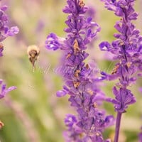 Lavender Field Bee Harvest Nature Photo Purple by AngsanaSeeds