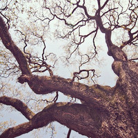 Oak Tree New Orleans Fine Art Photograph 8 x 12 by KristinKirkley