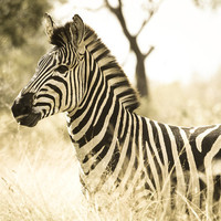 Zebra photo, nature photography, black and white, sepia, stripes, neutral, animal print, wildlife, Africa, abstract lines
