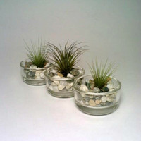Tea Light Holder,  Glass Air Plant Holder,  THREE Tillandsia Holders, Candle Holder, Flower Pot