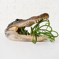 Real Alligator Head Planter