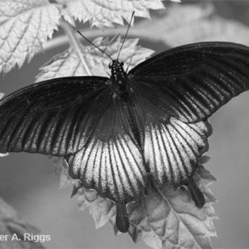 Butterfly Black and White by shyphotog on Etsy