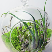 Air Plant Terrarium - Hanging Glass Terrarium - green reindeer moss - dried flowers - Home and Garden - Gift Ideas