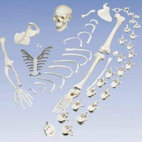 Disarticulated Human Full Skeleton (Replica)