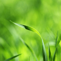 Macro Photograph Nature Photograph  flower photograph   green Grass Spring  wall art  4x6 Fine Art Photography Print