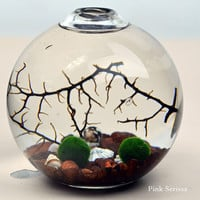 Marimo Terrarium - Japanese Moss Ball aquarium - in teardrop vase - with sea fan - shells - and brown pebbles
