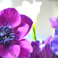 Purple Anemone Flower Photograph Print by bluebellsandbunting