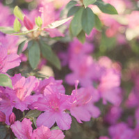 Azaleas Spring Fine Art Photograph 8 x 10 by KristinKirkley