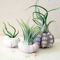 mixed trio // air plant urchins by peacocktaco on Etsy