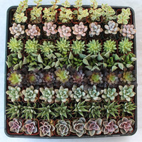 125  ROSETTE ONLY Favor Collection Succulents by SANPEDROCACTUS