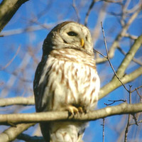 Barred Owl Nature Photography on Blank Note Card