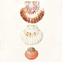 Shell Art Print - 8 x 10 - Three Pecten Shells