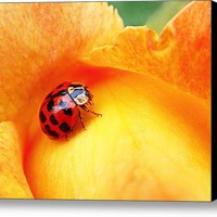 Ladybug Stretched Canvas Print / Canvas Art By Rona Black