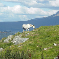Connemara Pony - 11x14 Print - Photography - Home Decor - Ireland
