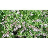Spearmint Herb 100 Seeds - GARDEN FRESH PACK!