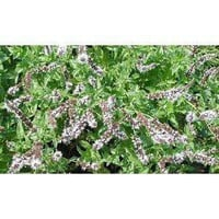 Amazon.com: Spearmint Herb 100 Seeds - GARDEN FRESH PACK!: Patio, Lawn & Garden