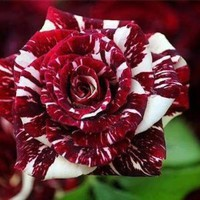 Tiger Stripes Rose Bush Flower Seeds 10 Stratisfied Seeds