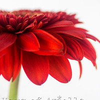 Flower Art Print, Red Daisy Photo, Gerber Daisy Wall Art Print, Flower Photography