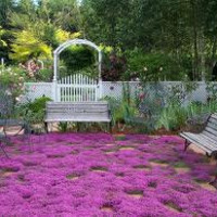 BULK 1,000 Seeds, Creeping Thyme, Walk on Me, Perennial Flower, Lemon Scent