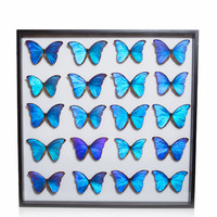 Museum Quality Insects Collection - Morpho Butterflies