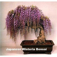 Amazon.com: Blue Japanese Wisteria Vine 5 Seeds - Hard to Find!: Patio, Lawn & Garden