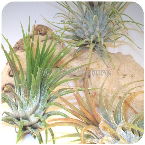 Air Plant Set Trio Tillandsia Air Plants From