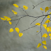 Yellow Autumnal Birch (Betula) Tree Limbs Against Gray Stucco Wall Photographic Print by Daniel Root at Art.com