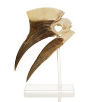 Yellow-Casqued Male Hornbill Skull on Stand