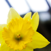 Daffodil Print, Yellow Home Decor, Flower Photography, 8x10 Fine Art Photo, Metallic