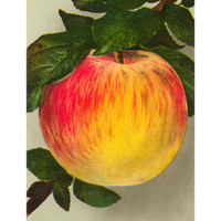 Gravenstein Apple Premium Poster at Art.com
