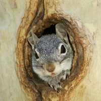 Grey Squirrel in Sycamore Tree Hole, Madera Canyon, Arizona, USA Photographic Print by Rolf Nussbaumer at Art.com