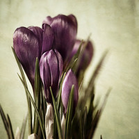 Nature photography flower photography crocus fine art print rustic wall decor shabby chic wall art floral wall art purple green wall decor