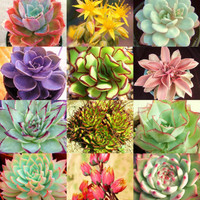 ECHEVERIA variety mix @@ rare plant exotic succulent seed flowering pot 20 seeds