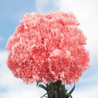 100 Pink Carnations