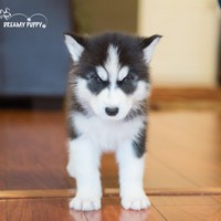 Buy a Siberian Husky puppy , from Dreamy Puppy available only at DreamyPuppy.com Place a $200.00 deposit online!