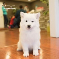 Buy a American Eskimo puppy , from Dreamy Puppy available only at DreamyPuppy.com Place a $200.00 deposit online!